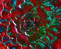 Cabbage Solarized